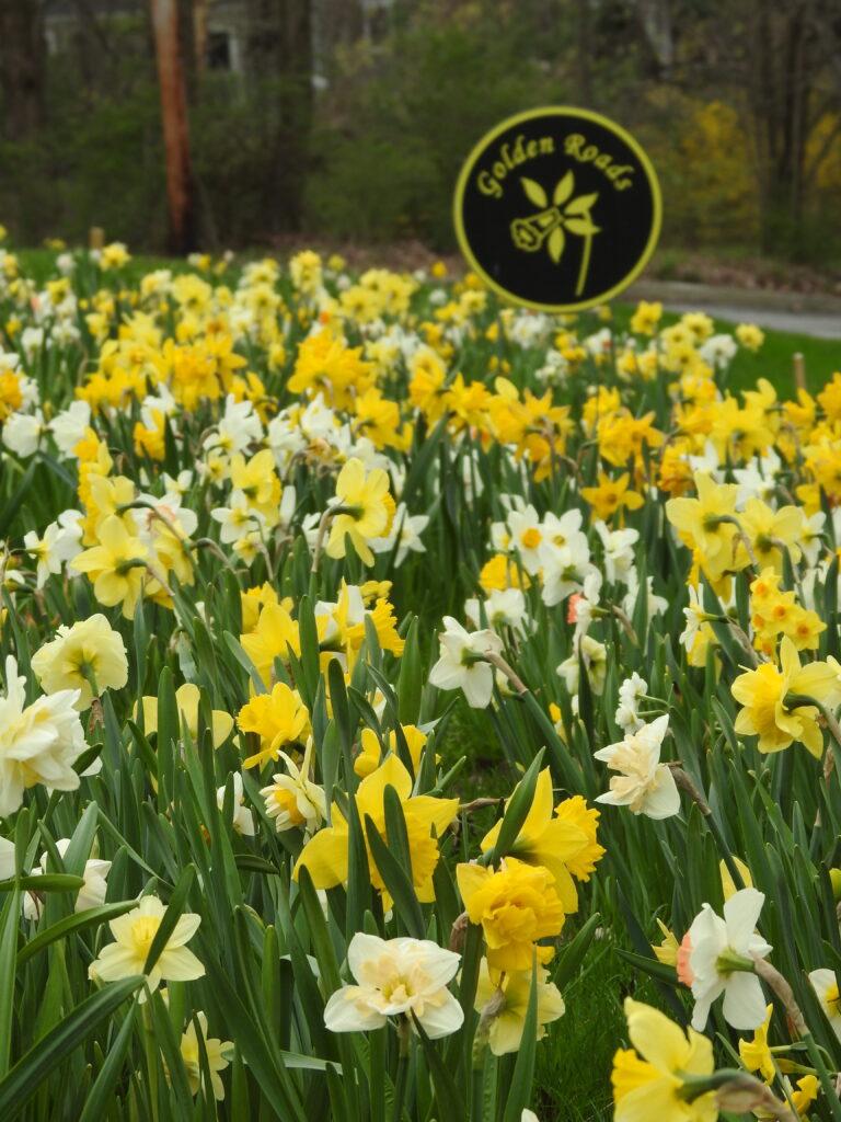 Golden Roads Daffodil Blend